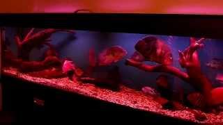 Интерактивный аквариумный туризм №24(Рубрика, куда вы присылаете свое видео и описание аквариума, а мы делаем из этого выпуск. Тема для Заявок:..., 2015-02-04T18:04:31.000Z)