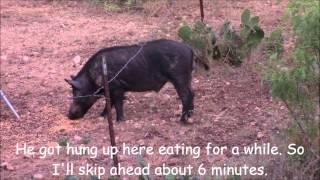 Archery Boar Hog Hunt