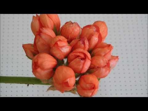 Пеларгония тюльпановидная Red Pandora купить