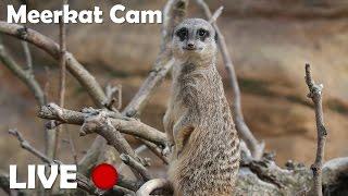 Meerkats Live