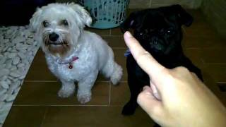 How To Train Your Maltese And Pug