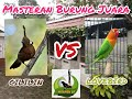 Masteran Cililin Vs Lovebird  Mp3 - Mp4 Download