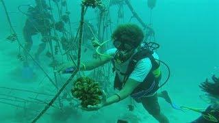 Заменить обесцвеченные кораллы на рифах помогают фермы на берегу