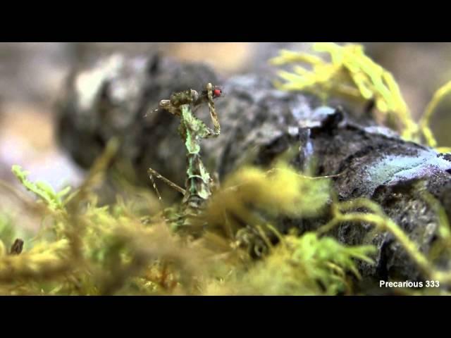 Haania sp. (Moss Mantis)