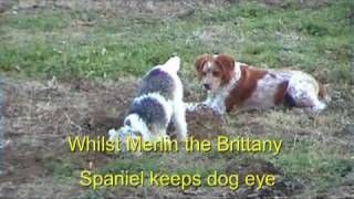 Fox Terrier goes to ground whilst Brittany keeps dog eye