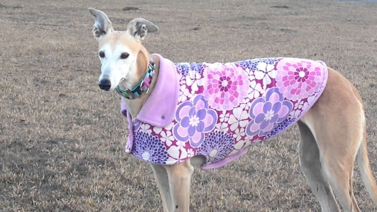 Greyhound in custom dog jacket - YouTube