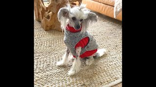 CHINESE CRESTED DOGS ARE CUTE LITTLE MODELS