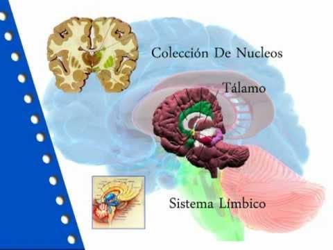 Neuroanatomia de los Ganglios basales - YouTube