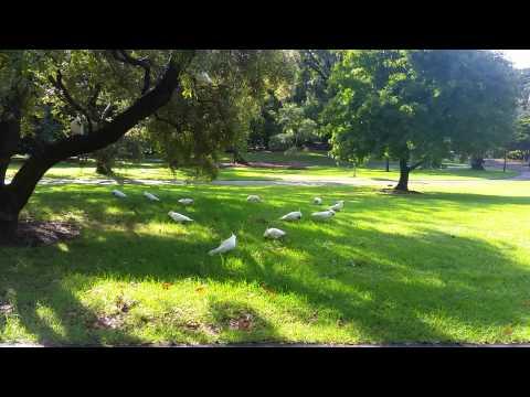 Cockatoos at Royal Botanic Gardens Sydney