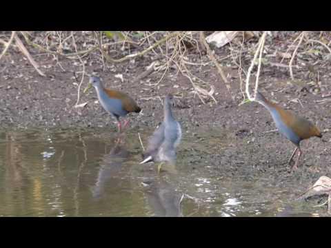 fauna brasileira sertaneja SARACURA CHUTA BONITO animais selvagens pampas pantanal brazilian brazil