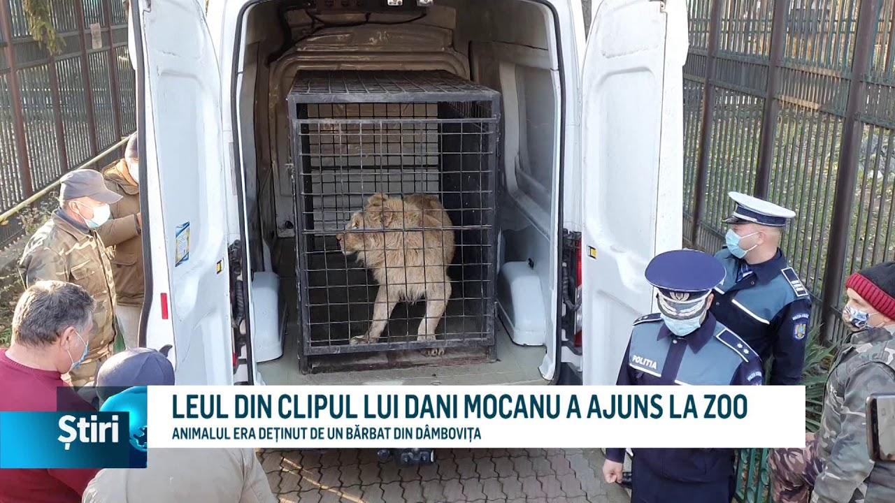 leul din clipul lui dani mocanu a ajuns la zoo