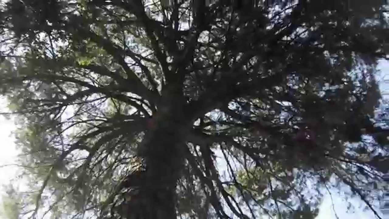 Volvere un arbol de hoja caduca youtube for Arboles de hoja caduca