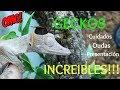 Geckos Increíbles: