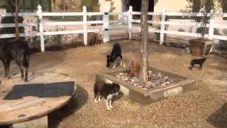 Rehabilitating  A Pack Of Dogs Orange County Aggressive Dog Training