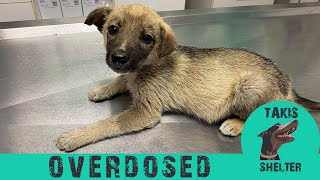 Puppy crying and crawling, nearly paralyzed by overdose cow medication  Teddy  Takis Shelter