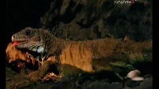 Всё о животных. Игуаны (часть 3)