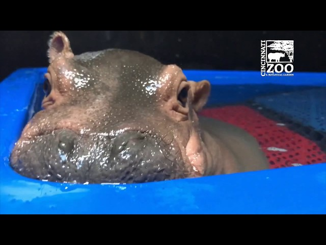 Baby Hippo Fiona's Special Moments:  Never-before-seen Videos from Care Team – Cincinnati Zoo
