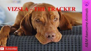 Vizsla  The Tracker