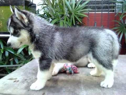 Siberian Husky Puppies Siberian Husky Dog Breed Pictures Youtube