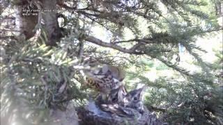 Дрозды -4 - птицы перед вылетом.wmv