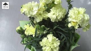 園芸家の杉井志織さんによる、鉢植えカーネーションの選び方と育て方の...