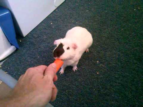 Guinea Pig Doing Tricks Jumping And Following Me Around