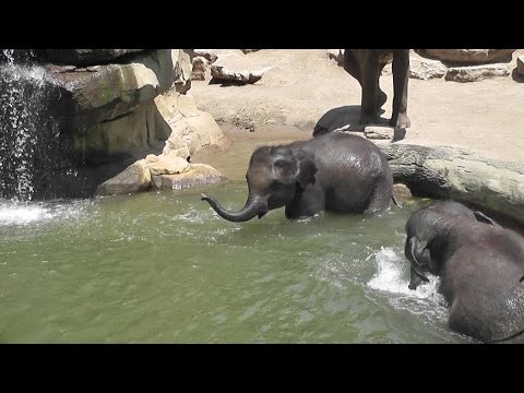 Asian elephants swimming at Saint Louis Zoo