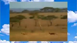 Видео прикол! Жизнь животных Погоня леопарда Охотник обгоняет его! Шок!!!