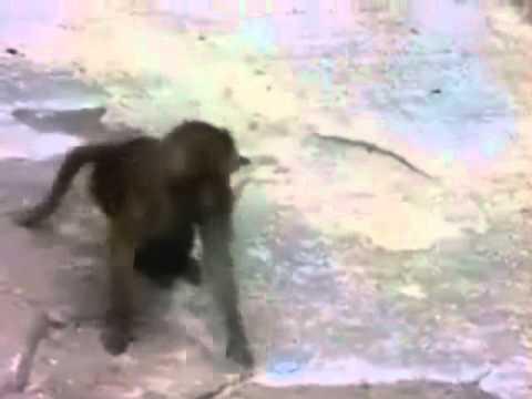 Lawak Lucu 20 - Monyet Terkejut Berok