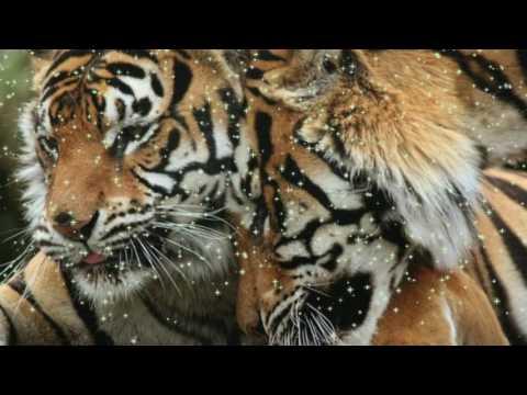 Львы и тигры, очень красивые животные на Планете, жизнь прекрасна и удивительна! релакс для отдыха