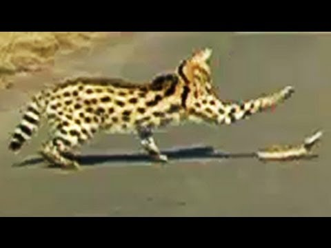 Serval Attacking A Puff Adder Snake