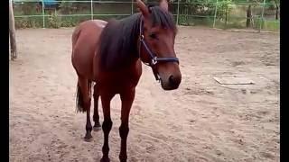 Породистые лошади / bloodstock