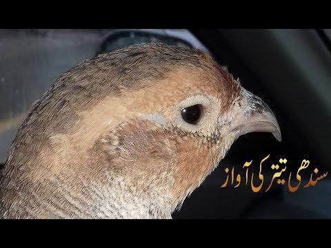 Sindhi Teetar Voice