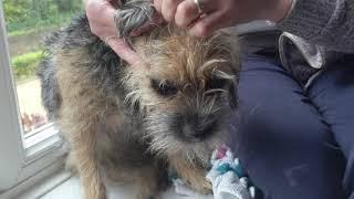 Border terrier Leeloo gets stripped.