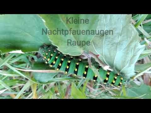 Kleine Nachtpfauenaugen Raupe (Frankreich 7/18) #LoveNature #Raupe #Caterpillar #Butterfly #MrGreen