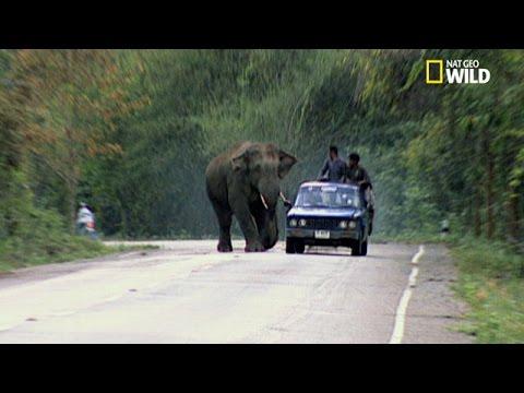 hqdefault - Les structures sociales dans les sociétés animales: les éléphants