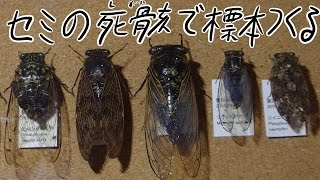 拾ったセミの死骸から昆虫標本を作る Way of making an insect specimen using a dead body of the cicada picked up