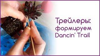 Фиалки-трейлеры: формируем Dancin' Trail