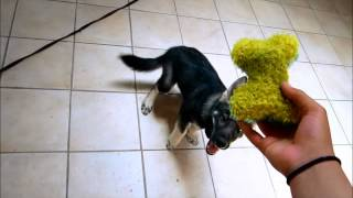 Wolf, German Shepherd, Husky Mix Pup