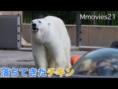Polar Bears eat the chicken 鶏肉を食べるピリカとルル