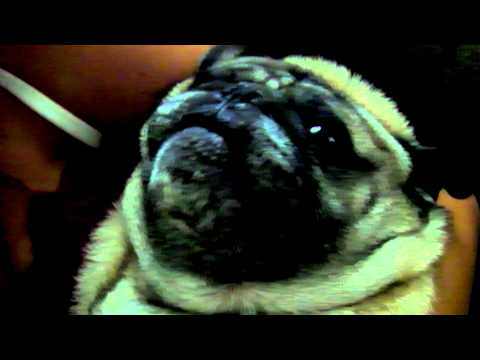 Pugsley The Pug Crying? or Possessed?
