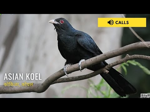 Asian Koel Singing