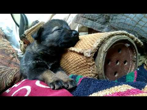 For Sale: female Pup w/yellow collar, from old, rare Czech working line of HRONOVSKY PRAMEN litter