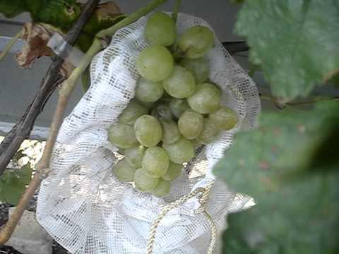 Сорт винограда Леда 21 09 2015