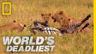 Lions vs. Zebra | World's Deadliest