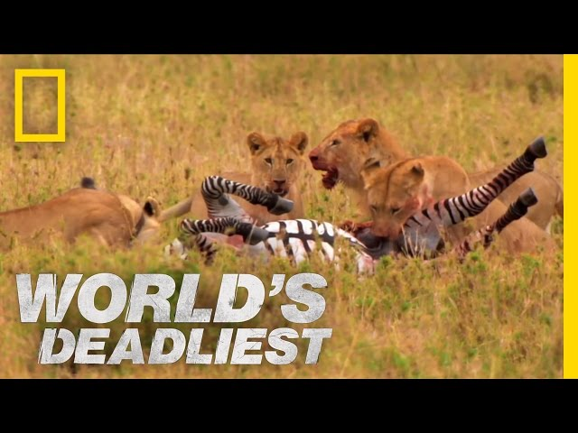 Lions vs. Zebra | World's Deadliest