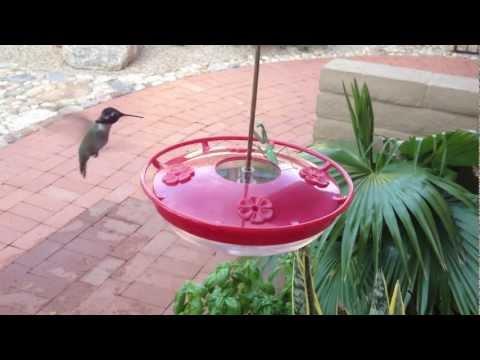 Praying Mantis captures bee while hummingbirds watch. Tucson AZ