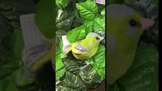 Птицы озвученные Зеленушка WILD REPUBLIC