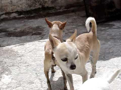 Chihuahuas peleando/ Chihuahuas fighting