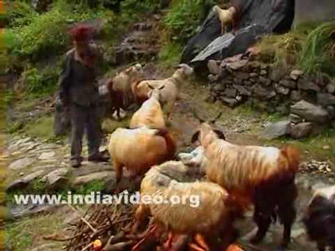 Goats near Agora
